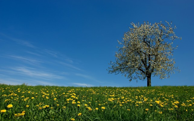 Dandelion Field & Blossom Tree wallpapers and stock photos