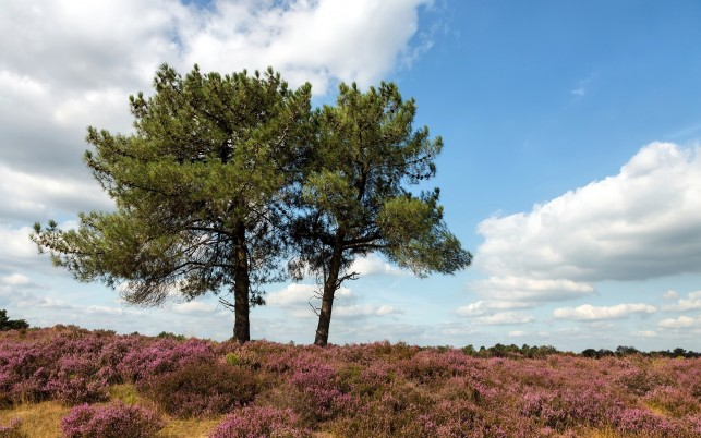 Heather Field Pines Clouds Sky wallpapers and stock photos