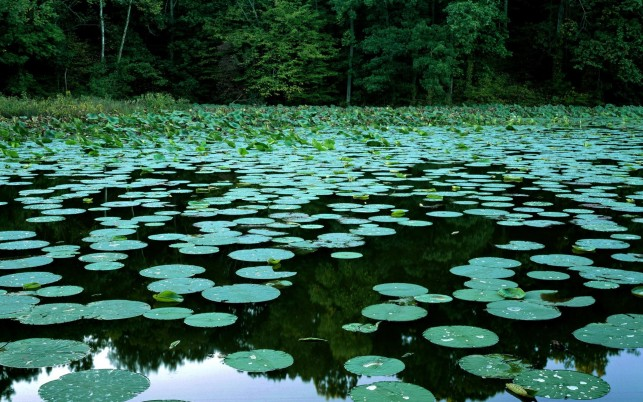Glorious Pond Lilly Pads Wood wallpapers and stock photos