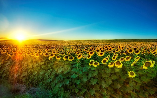 Fascinating SunFlower Field wallpapers and stock photos