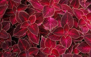 Red Nettles wallpapers and stock photos