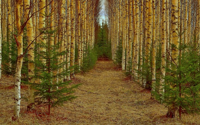 Delightful Birch Wood & Path wallpapers and stock photos