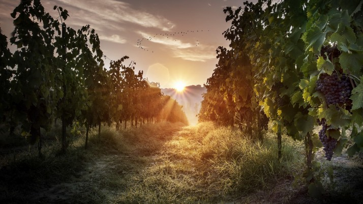 Vineyard Grass Morning Light wallpapers and stock photos