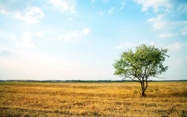 Lone Tree & Golden Campo wallpapers and stock photos