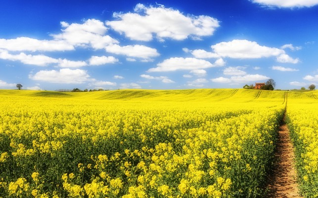 Rape Field Path House Sky wallpapers and stock photos