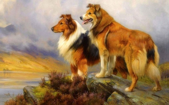 Pretty Collie Dogs Lookout wallpapers and stock photos