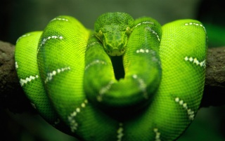 Tree Snake wallpapers and stock photos