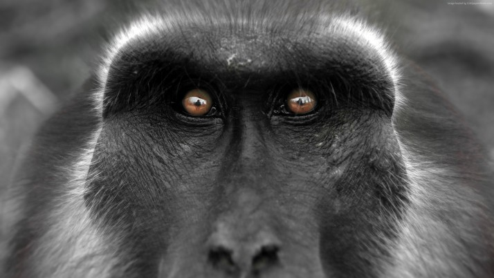 Monkey eyes wallpapers and stock photos