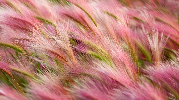 Pink wheat closeup wallpapers and stock photos