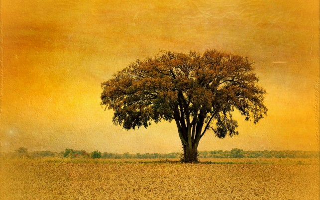 Great Tree Field Golden Sunset wallpapers and stock photos