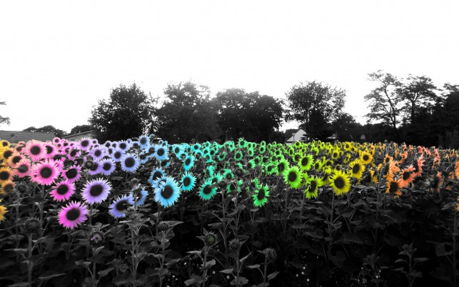 Random: Colorful Sun Flowers