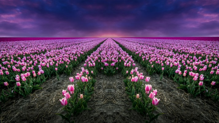 Pink Tulips & Blue Sky wallpapers and stock photos
