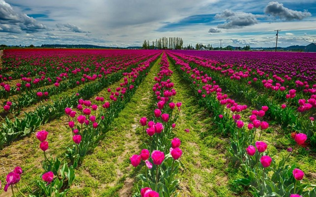 Purple & Pink Tulips wallpapers and stock photos