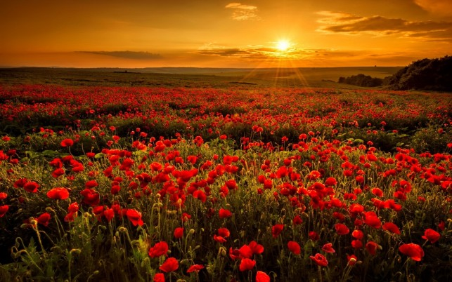 Random: Red Poppies & Orange Sunset