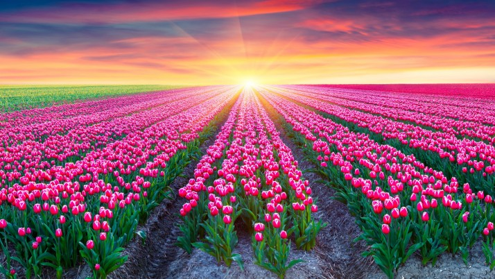Pink Tulips & Bright Sunrise wallpapers and stock photos