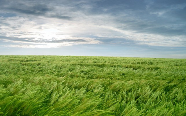 Random: Bright Green Wheat Field