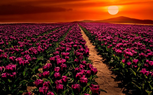Purple Tulips & Orange Sky wallpapers and stock photos