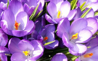 More Crocuses wallpapers and stock photos