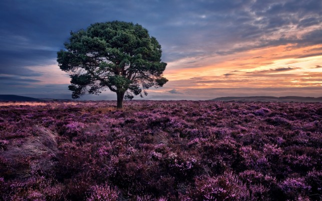 Random: Heather Field Tree Sunset