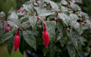 Fusia after Rain wallpapers and stock photos