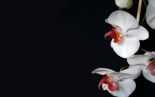White Orchid wallpapers and stock photos