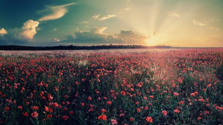 Poppy Field & Sun Rays wallpapers and stock photos