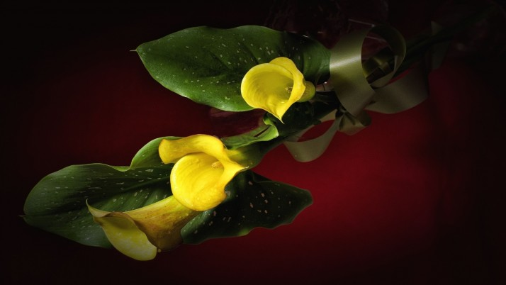 Yellow Calla Lily wallpapers and stock photos