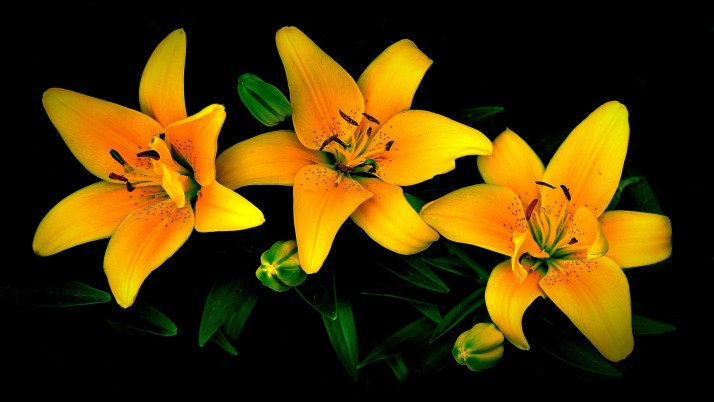 Orange & Yellow Lily wallpapers and stock photos