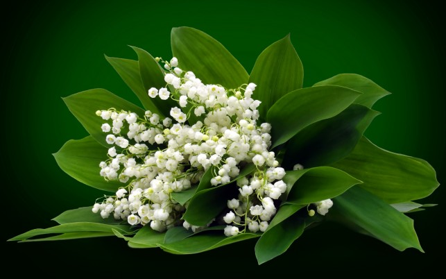 White Lily Of The Valley wallpapers and stock photos