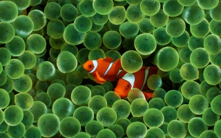 Clown Fish wallpapers and stock photos