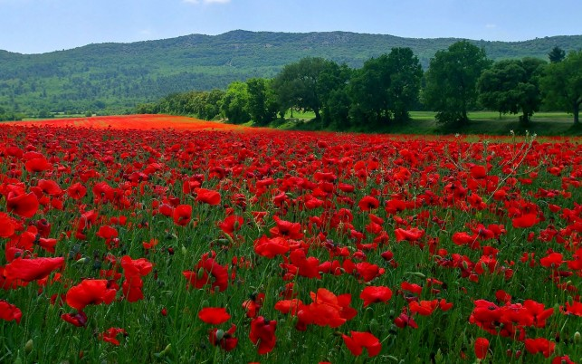Poppy Field & Beautiful Trees wallpapers and stock photos
