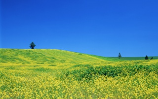 Yellow Fields wallpapers and stock photos