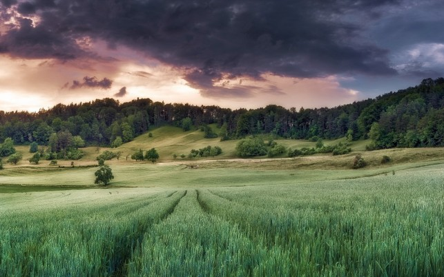 Trees Wheat Field Purple Cloud wallpapers and stock photos