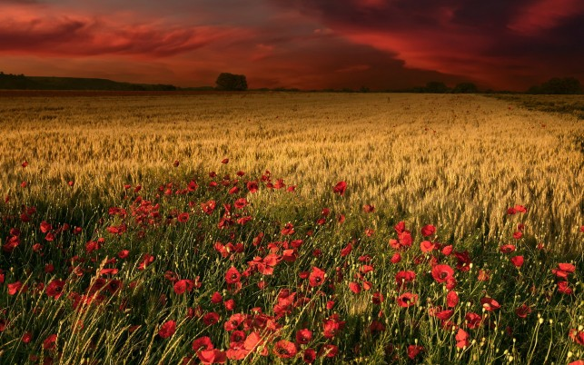 Poppys Wheat & Red Sky wallpapers and stock photos