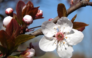 Plum Blossoms wallpapers and stock photos