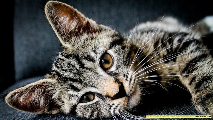Cat Wallpaper - simplyirfan wallpapers and stock photos