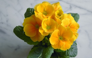 Primroses wallpapers and stock photos