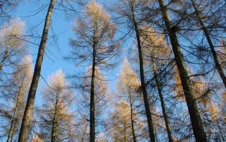 Larches wallpapers and stock photos