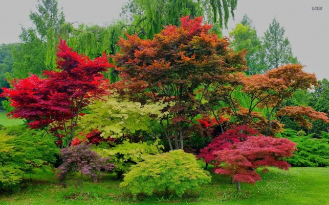 Beautiful Red Maple Trees wallpapers and stock photos