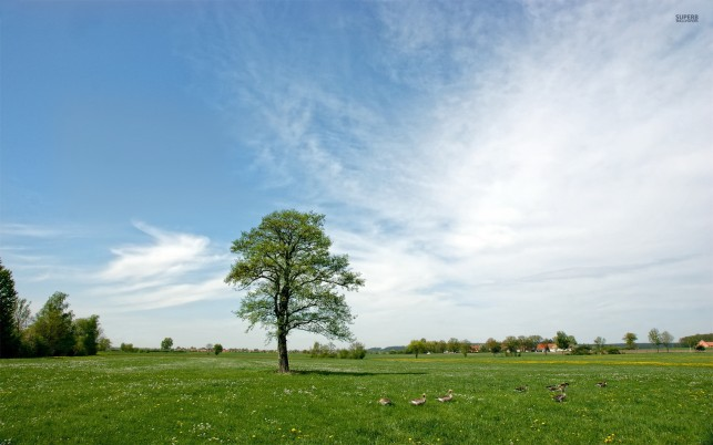 Delightful Pasture Ducks Trees wallpapers and stock photos