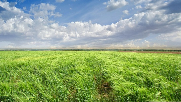 Bright Green Wheat Field wallpapers and stock photos