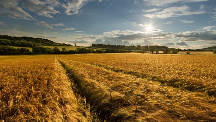 Golden Wheat Field Trees Sunny wallpapers and stock photos