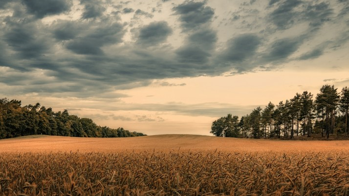 Extensive Wheat Field & Trees wallpapers and stock photos