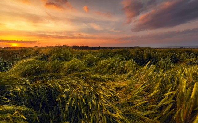 Wheat Field & Pink Sunset wallpapers and stock photos