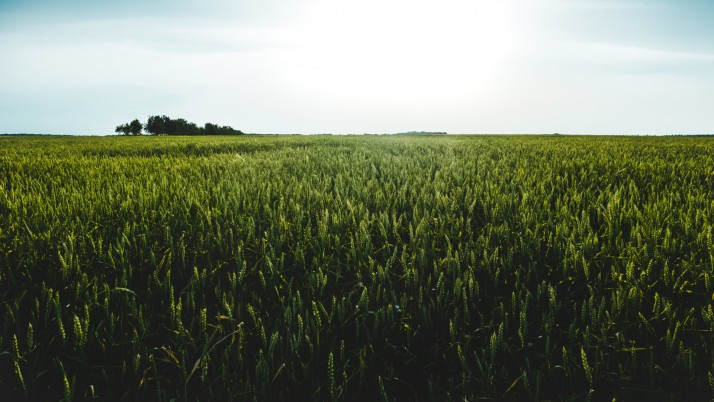 Dark Green Wheat Field wallpapers and stock photos