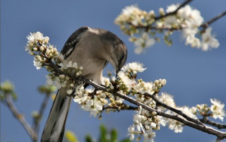 Mockingbird wallpapers and stock photos