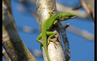 Green Lizzard wallpapers and stock photos