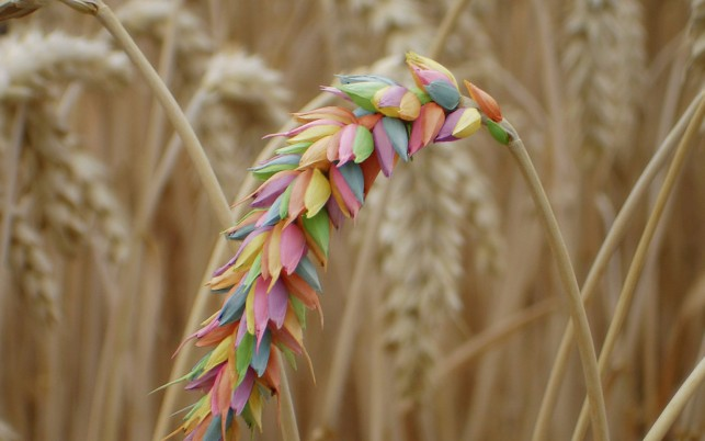 Rainbow Wheat wallpapers and stock photos