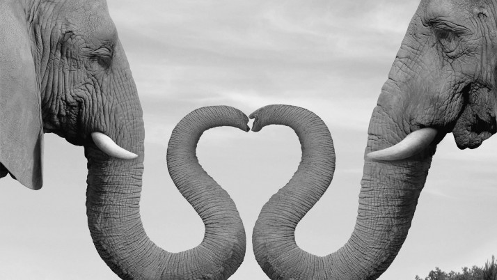 Elephants In Love wallpapers and stock photos