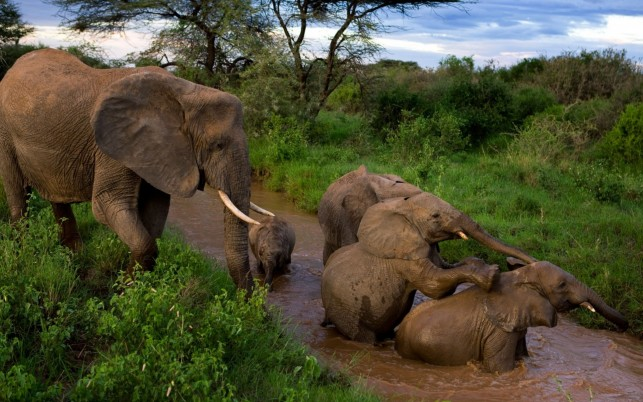 Elephants Mud Bath wallpapers and stock photos